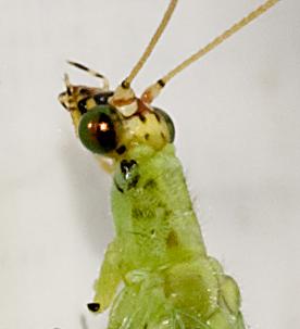 Golden-eyed Lacewing - Chrysopa oculata