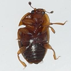 beetle - Stelidota geminata