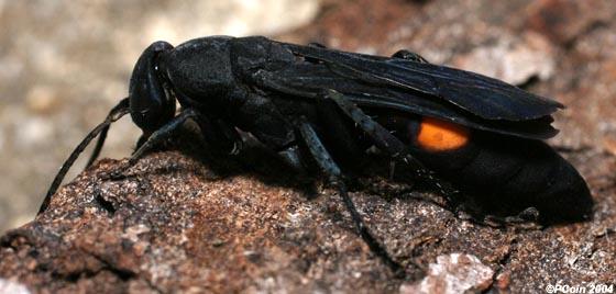 Blue-Black Spider Wasp - Psorthaspis brimleyi - female