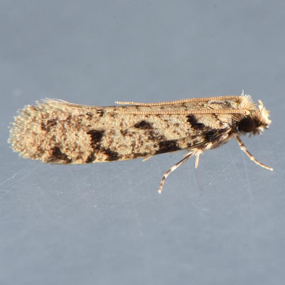 334.1  - Amydria erecta