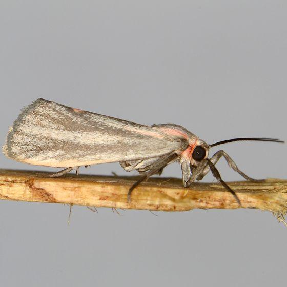 Striated Lichen Moth - Cisthene striata