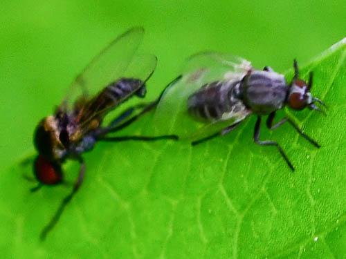 Simuliidae black flies? - male - female