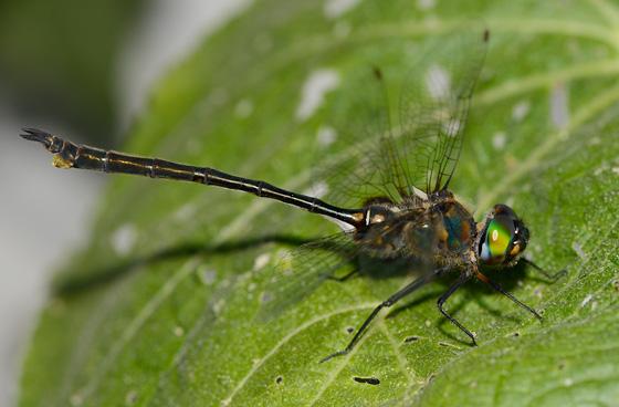 Winnipeg Somatochlora - Somatochlora franklini - female