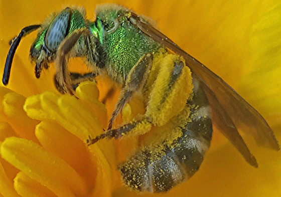 Green bee - Agapostemon virescens
