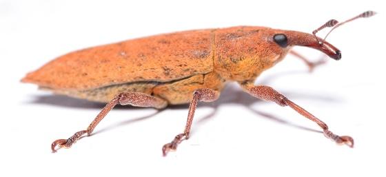 Lixus rubella - Lixus rubellus