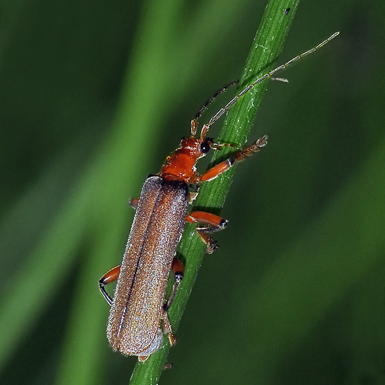 Soldier Beetle - Pacificanthia consors