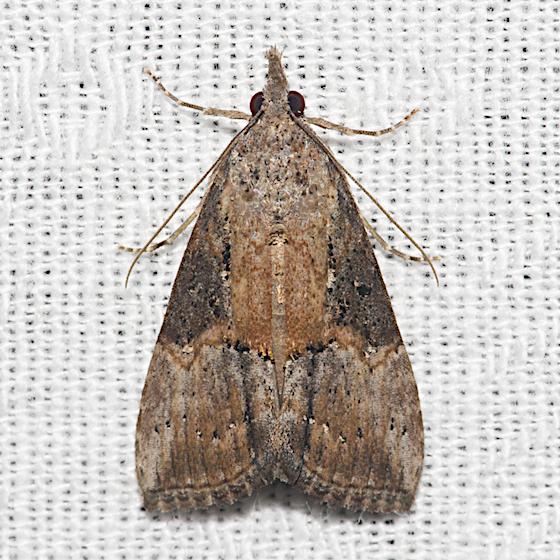 Green Cloverworm Moth - Hodges#8465 - Hypena scabra