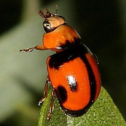 Back and orange beetle - Brachiacantha tau