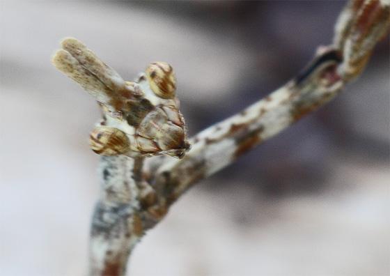 Arizona Unicorn Mantis - Pseudovates arizonae