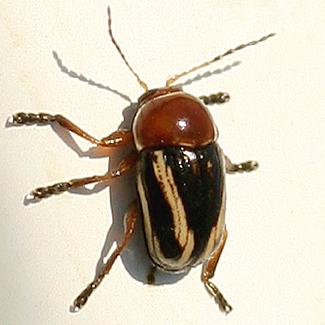 Tiny Beetle - Cryptocephalus venustus