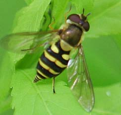 Hover Fly9 - Syrphus torvus