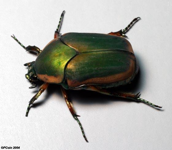 Green june beetle