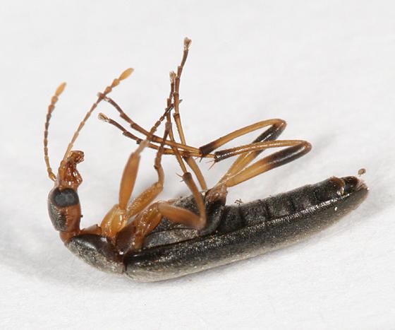 long-legged beetle - Cephaloon lepturides