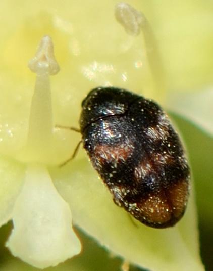 Phradonoma nobile