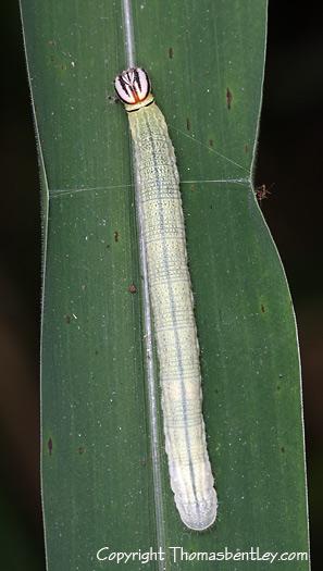 Skipper Caterpillar - Lerema accius