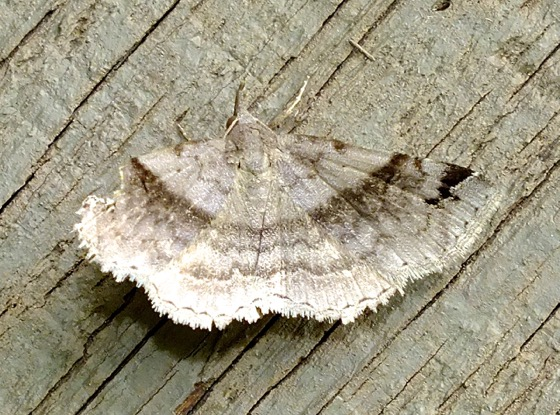 Gray Moth - Spargaloma sexpunctata