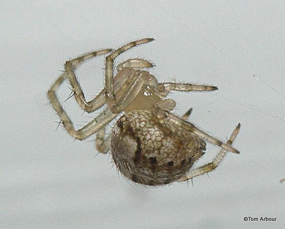 Tiny Spider - Araneus pegnia