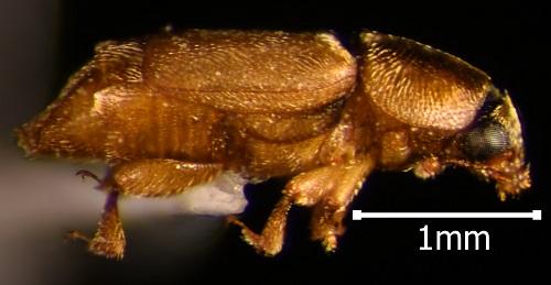 Carpophilus sp.? - Nitops pallipennis