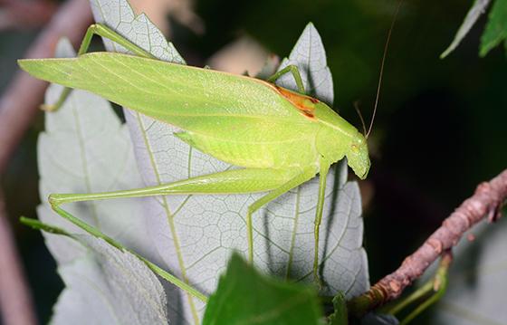 Amblycorypha floridana - Florida Oblong-winged Katydid - Amblycorypha floridana - male