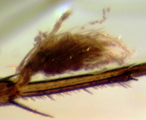 Parasitic (phoretic?) mites on a Phoridae - Trombidium