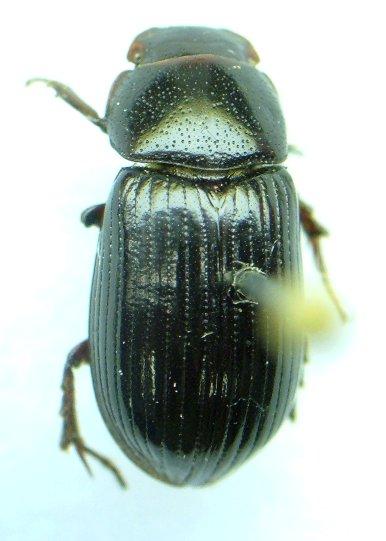 Aphodius badipes