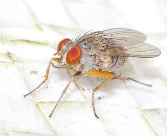 grey fly