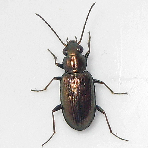 Bembidion (Ochthedromus) americanum - Bembidion americanum