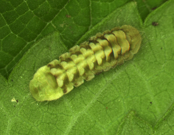 Summer Azure, larva - Celastrina neglecta