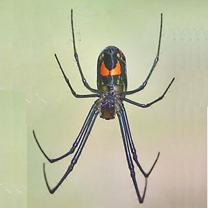 Venusta Orchard Spider - Leucauge