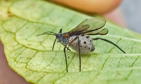 InsectTBID01162015 - Longistigma caryae