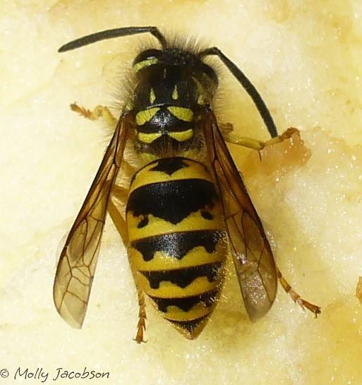 which yellowjacket? - Vespula flavopilosa - female
