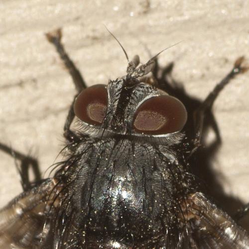 Tachinid Fly - Leschenaultia - female