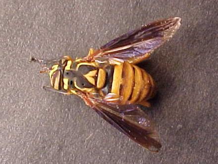 Colorful Bee - Spilomyia alcimus