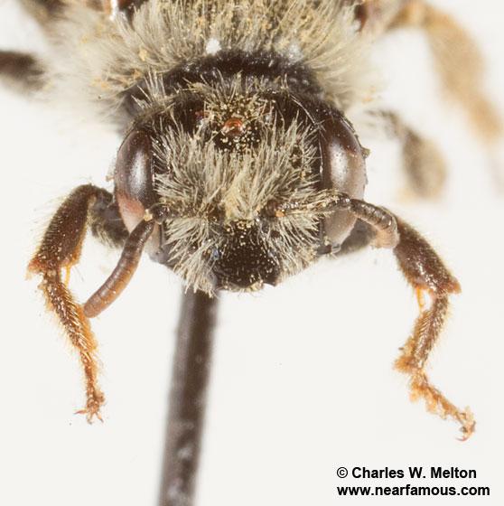 Bee - Calliopsis