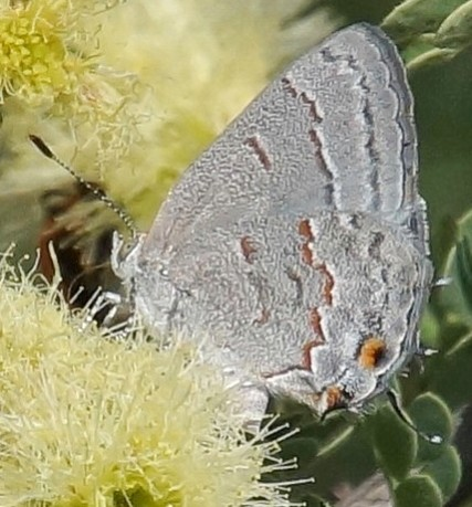 butterfly, hairstreak sp. ? - Ministrymon leda