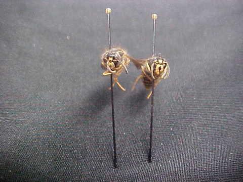 Dolichovespula alpicola workers (front view) - Dolichovespula alpicola - female