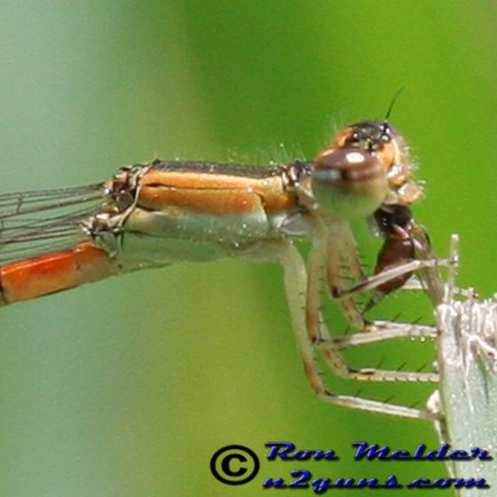 Citrine Forktail - Ischnura hastata - female
