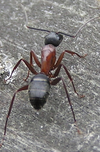 An Ant to ID - Camponotus