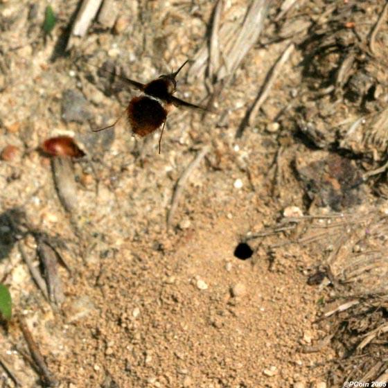 Pygmy Bee Fly Ovipositing - Bombylius pygmaeus - female