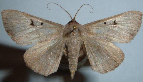 Moth - Panopoda carneicosta