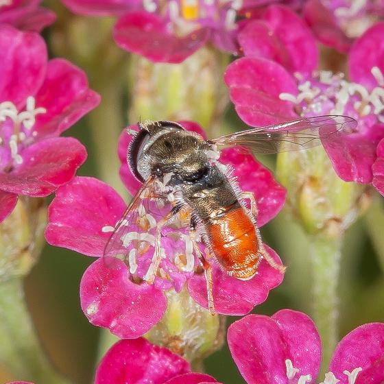 Hover fly Paragus haemorrhous? - Paragus haemorrhous - male