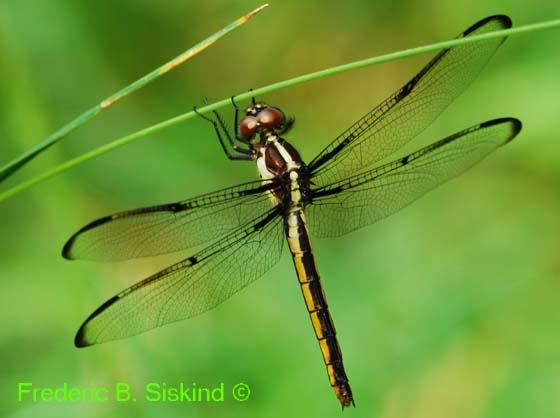Slaty skimmer juvenile female (DDF251) - Libellula incesta