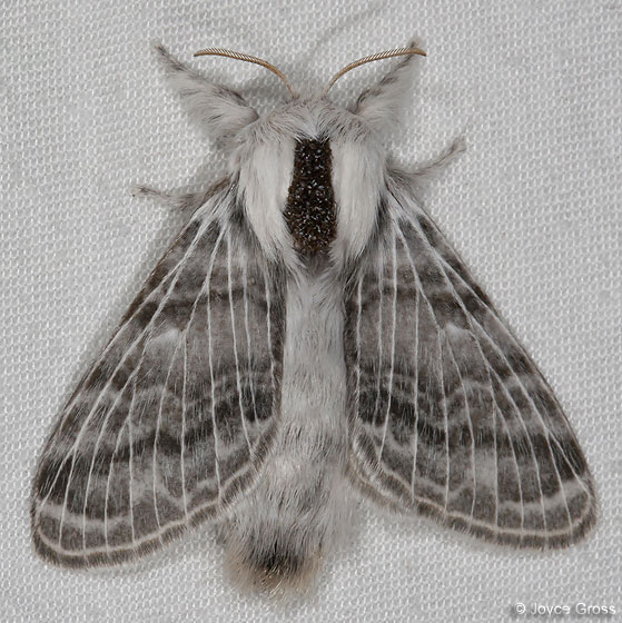 moth - Tolype