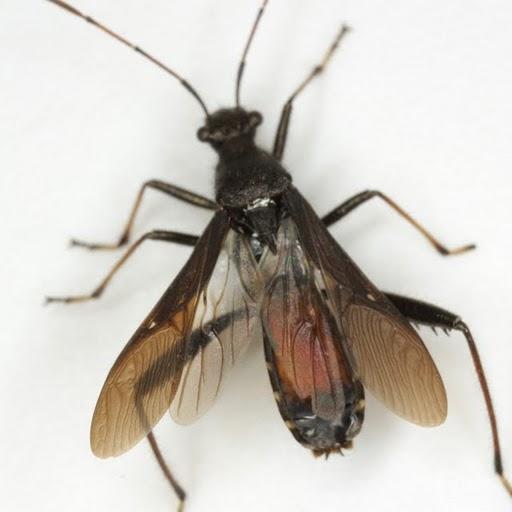 Alydus eurinus (Say) - Alydus eurinus