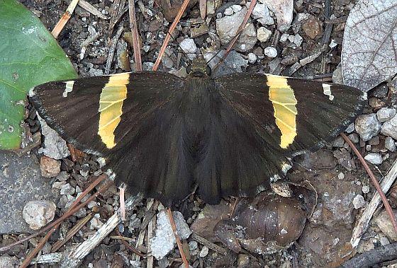 Arizona Butterfly - Autochton cellus