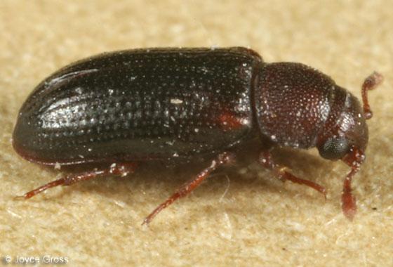 beetle - Odontosphindus clavicornis