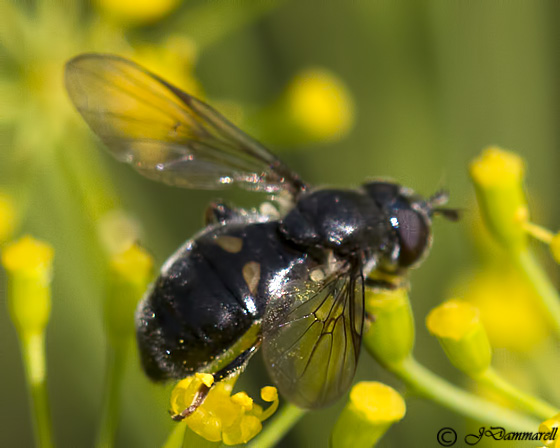 Fly on Dill - Pipiza