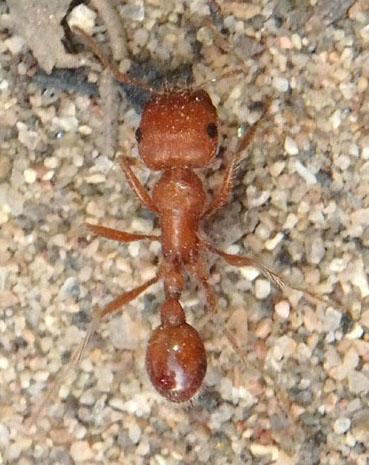 Ant Nov 13 - Pogonomyrmex maricopa