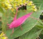 Pink bug taken in lower corner of Michigan - Amblycorypha oblongifolia - female