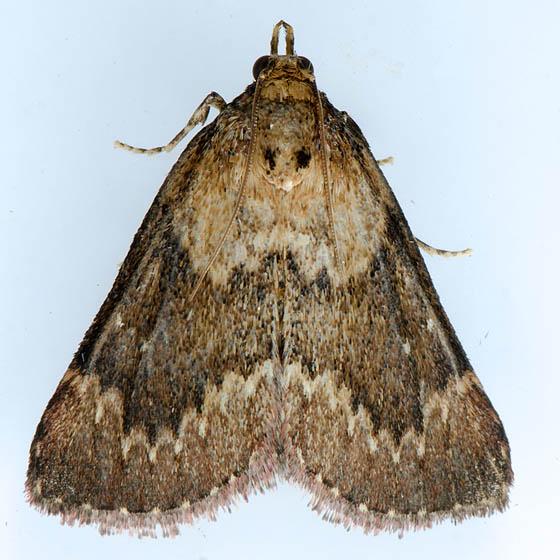 5627 Asimina webworm moth  - Omphalocera munroei